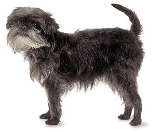 The Affenpinscher is a balanced, wiry-haired terrier-like toy dog whose intelligence and demeanor ma