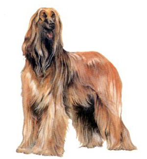 When running free, the Afghan Hound moves at a gallop