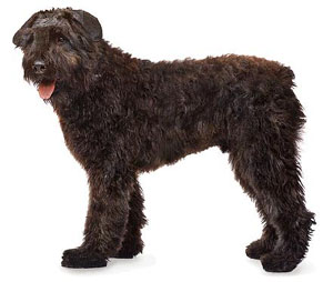 The Bouvier des Flandres is a powerfully built, compact, short-coupled, rough-coated dog of notably