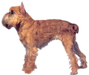 Brussels griffon is a toy dog, intelligent, alert, sturdy, with a thickset, short body, a smart carr