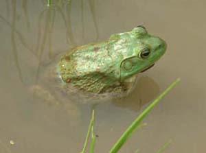 female bullfrog - notice the tympanic membrane