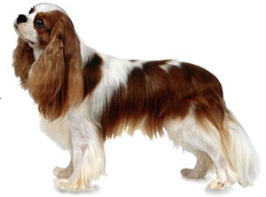 The Cavalier King Charles Spaniel is an active, graceful, well-balanced toy spaniel