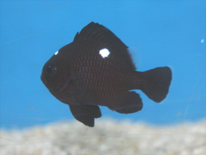 Domino damselfish are reef safe