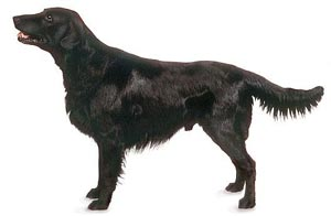 The Flat-Coated Retriever is a versatile family companion hunting retriever