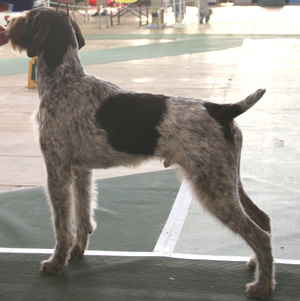 The German Wirehaired Pointer is a well muscled, medium sized dog
