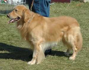 The golden retriever is currently the second most popular breed in the USA
