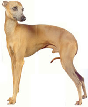 The Italian Greyhound is very similar to the Greyhound