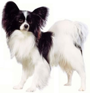 The Papillon is a small, friendly, elegant toy dog of fine-boned structure