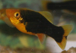 The Platy comes from Central America from Mexico to Guatemala.