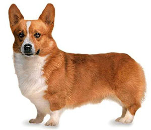 The judge shall dismiss from the ring any Pembroke Welsh Corgi that is excessively shy