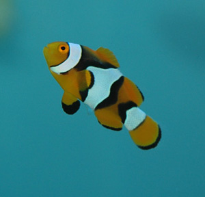 The common Clownfish is found widespread throughout the tropical