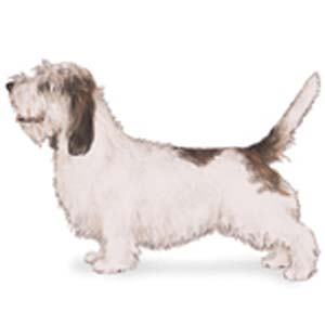 The Petit Basset Griffon Vendéen is a scent hound developed to hunt small game