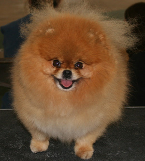 The Pomeranian is a compact, short-backed, active toy dog