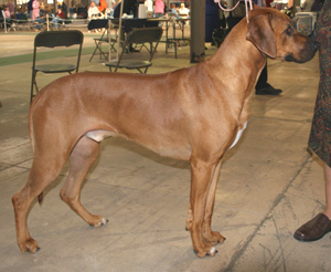 Rhodesian Ridgeback is bred to hunt lions