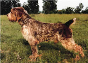 Spinone is resistant to fatigue and is an experienced hunter on any terrain