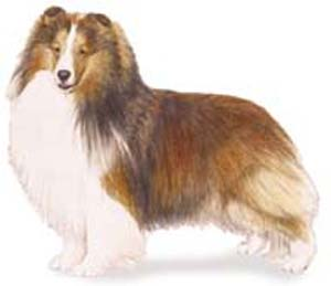 The trotting gait of the Shetland Sheepdog should denote effortless speed and smoothness.