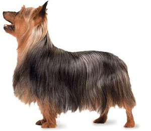 "The Silky Terrier is a true ""toy terrier""."