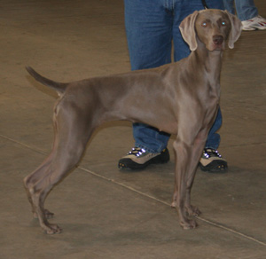 Weimaraners make excellent field dogs