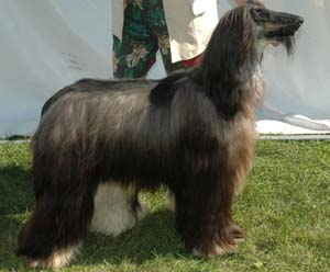 The Afghan Hound should be shown in its natural state