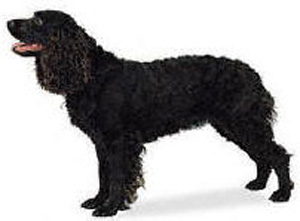 The American Water Spaniel was developed in the United States as an all-around hunting dog