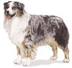 The Australian Shepherd is an intelligent, medium-sized dog of strong herding and guardian instincts