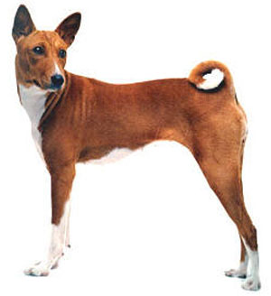 The Basenji is a small, short haired hunting dog from Africa