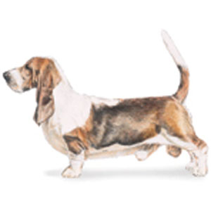 The Basset Hound moves in a smooth, powerful, and effortless manner.