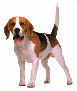 Beagles are fantastic rabbit dogs