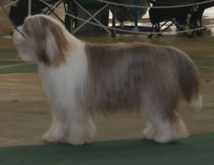 The Bearded Collie is a medium sized dog