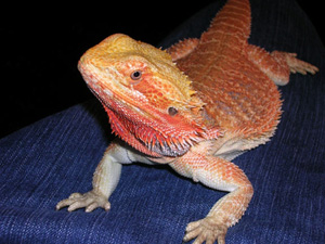 Feed adult bearded dragons 3-5 times a week