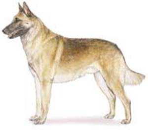The Belgian Malinois is a well balanced, square dog, elegant in appearance with an exceedingly proud