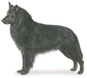 the Belgian Sheepdog is that of a well balanced, square dog, elegant in appearance, with an exceedin