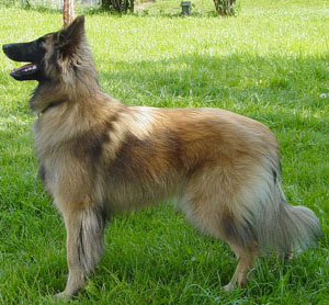 Belgian Tervuren is that of a well balanced medium size dog, elegant in appearance, standing squarel