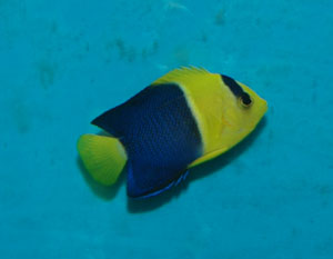 Bicolored angelfish come from the Indo-Pacific region