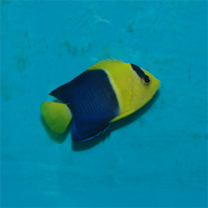 bicolored angelfish are omnivores