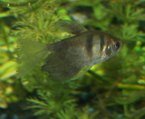 Black tetras are small and peaceful