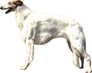 The Borzoi was originally bred for the coursing of wild game