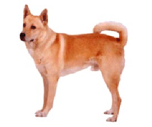The Canaan Dog is a herding and flock guardian dog native to the Middle East.