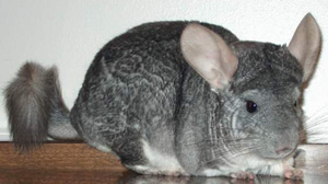Chinchillas can live for fifteen to twenty years with proper care