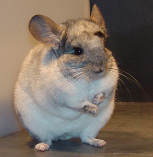Chinchillas came from high up in the Andes Mountains