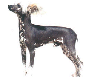 Chinese Crested is a toy dog, fine-boned, elegant and graceful