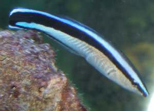 The cleaner wrasse is a torpedo shaped fish.