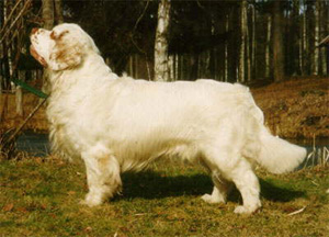 The Clumber Spaniel is a long, low, substantial dog