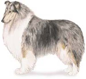 The Collie is a lithe, strong, responsive, active dog