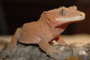 The Crested Gecko is native to New Caledonia
