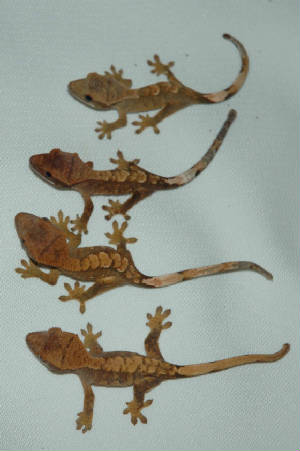 Crested Geckos is that they do not need to be fed live insects