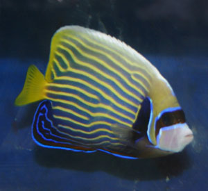 emperor angelfish can grow in excess of 15 inches