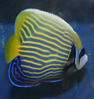 Emperor angelfish are not really reef friendly