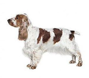 The English Cocker Spaniel is an active, merry sporting dog