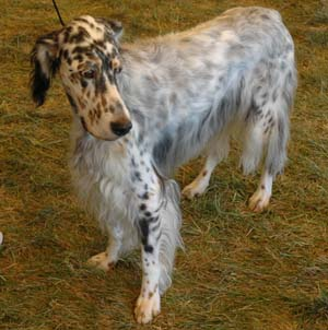 The english setter is an elegant, substantial and symmetrical gun dog